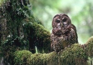 Northern Spotted Owl, Strix occidentalis caurina, Gifford Pinchot forest, Washington, (c) Tom Kogut/ USDA forest service