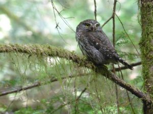 Silver Creek Pygmy owl